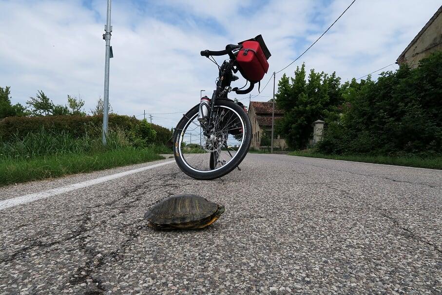 Landschildkröte bei der Straßenquerung – Thomas lässt ihr die Vorfahrt.